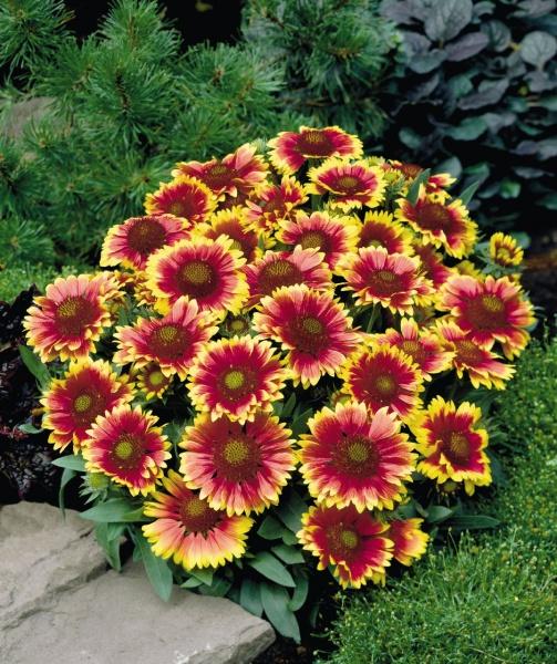 цветы садовые фото многолетние