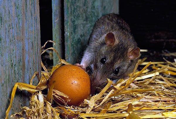 Чем травить крыс в курятнике
