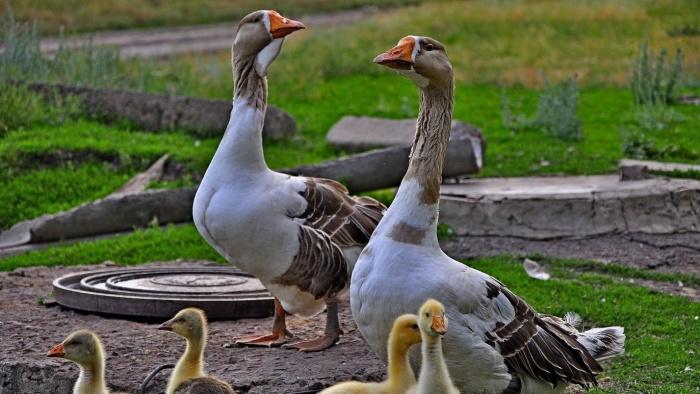 Навес для гусей