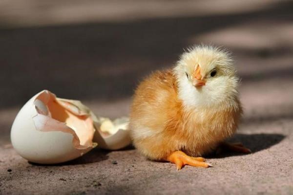 Особенности выведения цыплят под наседкой в домашних условиях
