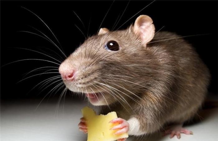 чем отпугнуть мышей в доме