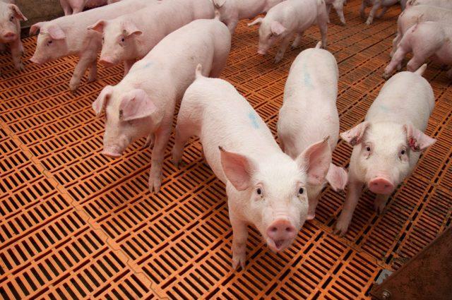 Строительство двух свинокомплексов остановлено