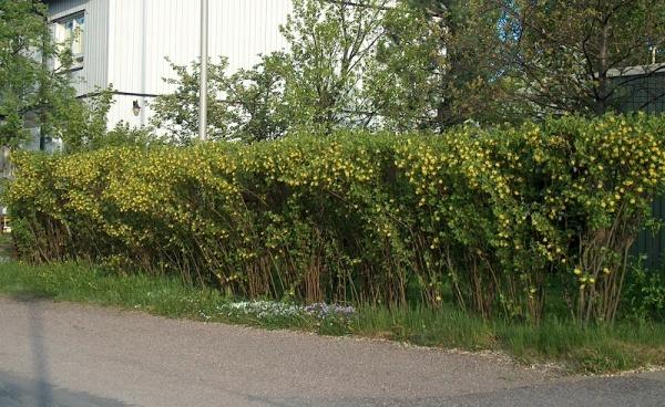 альпийской фото смородины изгородь живая из
