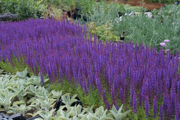 Каталог садовых цветов названия фото названия
