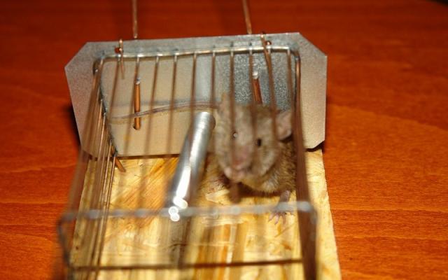 Как в домашних условиях уничтожить крысу