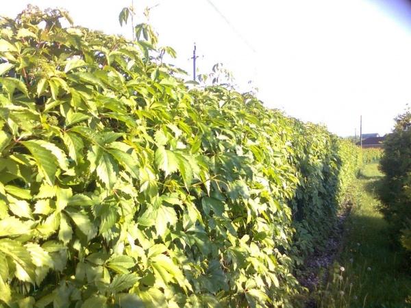 Как сделать живую изгородь из дикого винограда