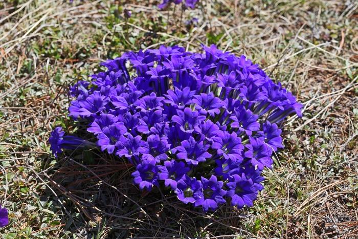 Цветы многолетние синего цвета