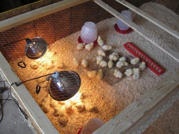 выведение цыплят в инкубаторе в домашних условиях видео инструкция - фото 9