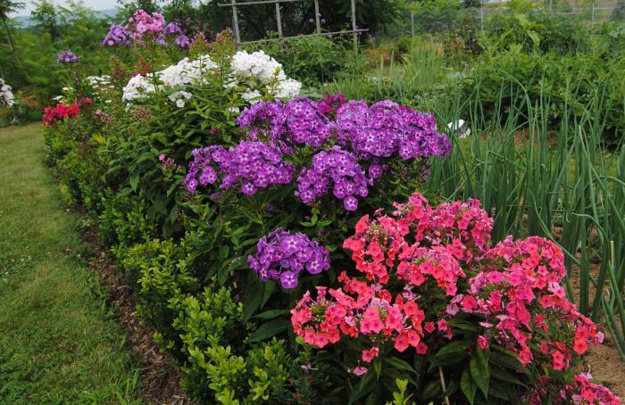 Цветы многолетники дача