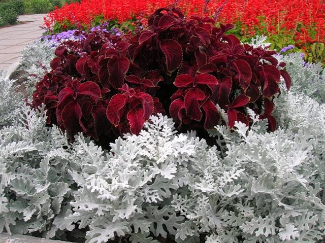 колеус фото цветов на клумбе