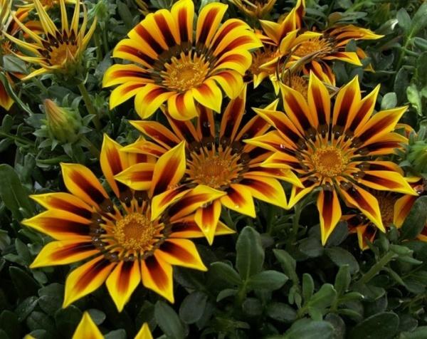 Портулак цветы в саду 83