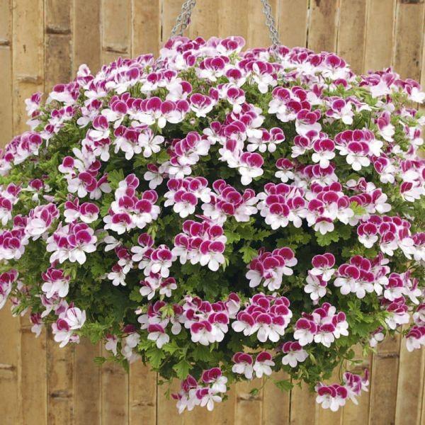 уход за цветком герань комнатное растение