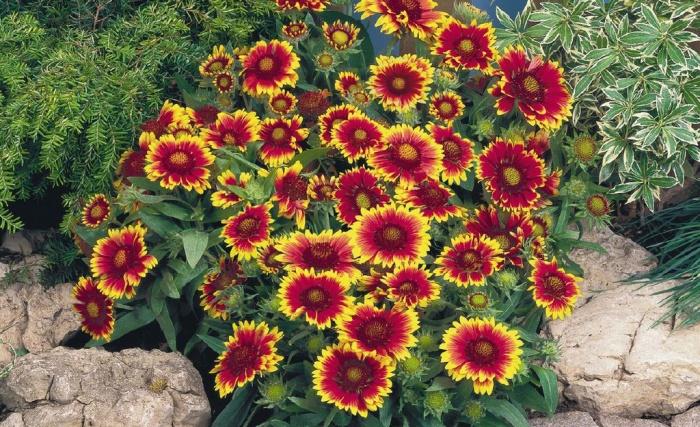 Бордюрные цветы и растения многолетники: фото в каталоге и 95
