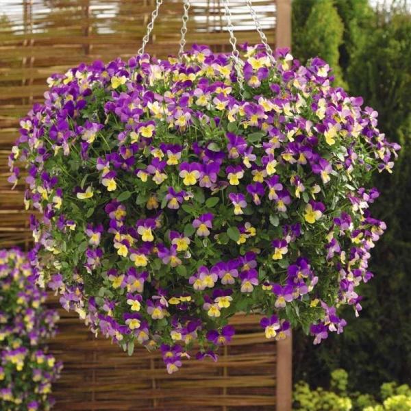 Виола цветов на балконе