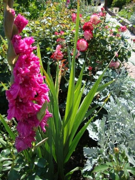 Как сажают цветы львиный зев 138