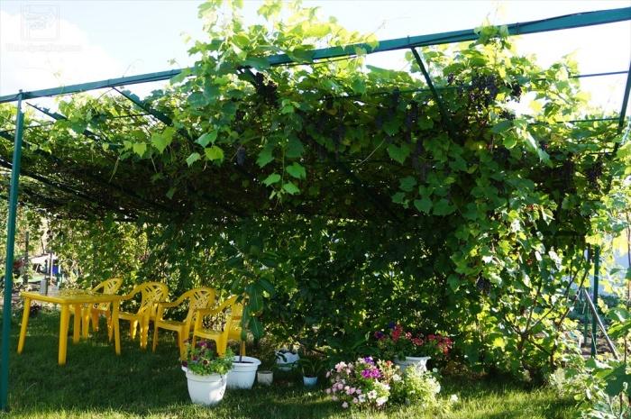 Виноград для беседки неукрывной