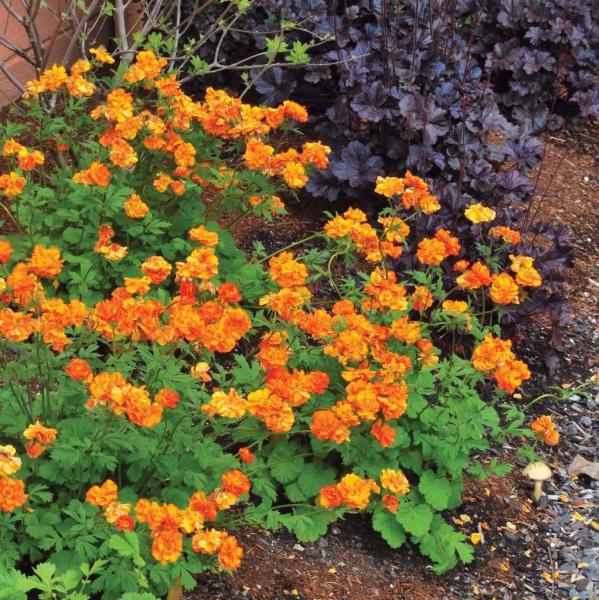 многолетние цветы для бордюров фото и название