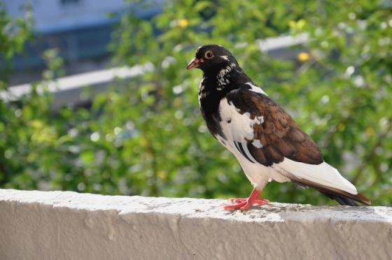 звуки для отпугивания голубей