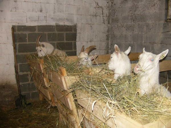 сарай для козы
